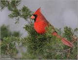 Northern Cardinal 18