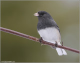 Dark-eyed Junco 8