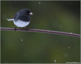 Dark-eyed Junco 10