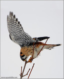 American Kestrel wiping up after Dinner 47