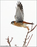 American Kestrel Lift Off 49