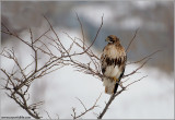 Red-tailed Hawk Hunting 178