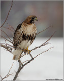 Red-tailed Hawk Hunting 179