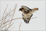 Red-tailed Hawk 180