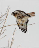 Red-tailed hawk 181