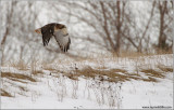 Red-tailed Hawk Hunting 182