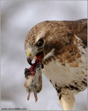 Red-tailed Hawk with Lunch 184