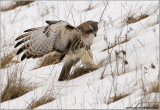 Red-tailed Hawk missed the Catch! 185