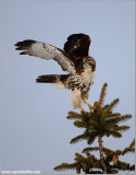 Red-tailed Hawk Lift-off 188
