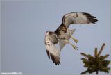 Red-tailed Hawk in Flight 189