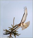 Red-tailed Hawk in Flight 190