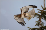 Red-tailed Hawk in Flight 191