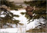 Red-tailed Hawk in Flight (e) 193
