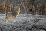 Coyote on the Dirt
