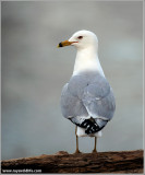 Ring-billed Gull 9