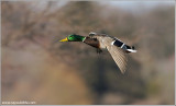Mallard in Flight 52