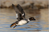 Common Goldeneye Racing 6