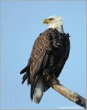 Bald Eagle 56
