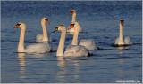 Mute Swans 14
