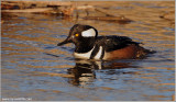Hooded Merganser 9