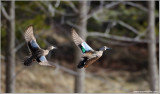 Blue-winged Teal in Flight 4
