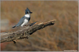 Belted Kingfisher 25