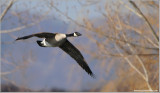 Canada Goose in Flight 16