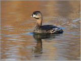 Pied-billed Grebe 5