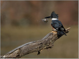 Belted Kingfisher with Breakfast 26