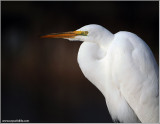 Great White Egret Resting 40