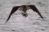 Osprey  with Lunch 46