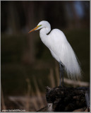 Great White Egret Resting 44