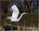 Great White Egret in Flight 45