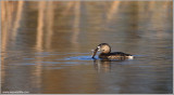Pied-billed Grebe with Dinner 8