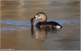 Pied-billed Grebe 9
