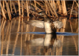 Pied-billed Grebe doing a Stretch 10
