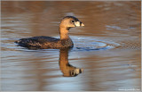 Pied-billed Grebe 11
