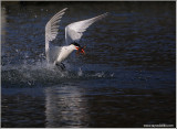 Caspian Tern with Catch