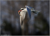 Caspian Tern with Speared Dinner