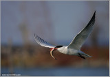 Caspian Tern with Speared Dinner 2