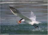 Caspian Tern snags one!
