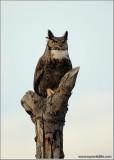 Great Horned Owl 5