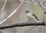 Ruby Crowned Kinglet (I think) 2