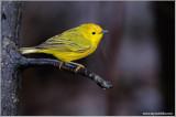 Yellow Warbler 16