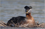 Red-necked Grebe 45