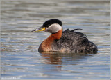 Red-necked Grebe 46