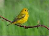 Yellow Warbler 2nd edit 22