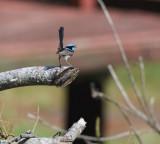 Blue Wren, male