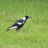 Australian Magpie with young lizard...caught