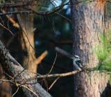 Laughing Kookaburra at sunset